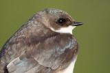 tree swallow 249