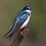 tree swallow 255