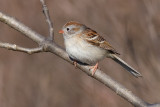 chipping sparrow 19