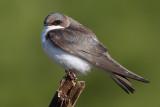 tree swallow 256