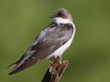 tree swallow 257