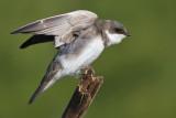 tree swallow 258