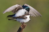 tree swallow 261