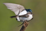 tree swallow 262