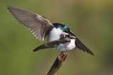 tree swallow 263