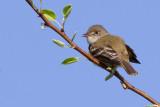 least flycatcher 5