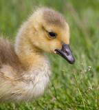 gosling 164