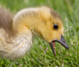 gosling 165