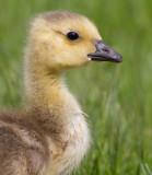 gosling 166