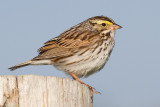 savannah sparrow 22