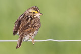 savannah sparrow 24