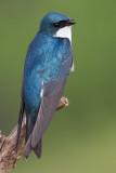 tree swallow 267