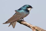 tree swallow 269