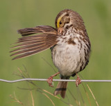 savannah sparrow 26