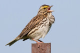 savannah sparrow 28