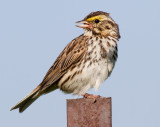 savannah sparrow 29
