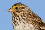 savannah sparrow 31