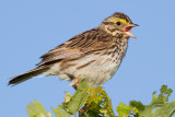 savannah sparrow 32