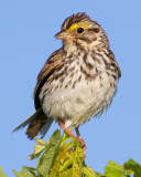 savannah sparrow 33