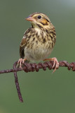 savannah sparrow fledgling 2