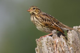 savannah sparrow fledgling 3