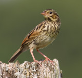 savannah sparrow fledgling 4