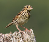 savannah sparrow fledgling 6