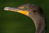 cormorant 106