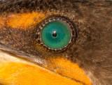 cormorant 109