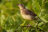 juvenile eastern meadowlark 1