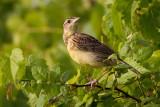 Eastern Meadowlark - Juvenile