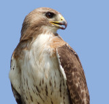 red-tailed hawk 326