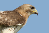 red-tailed hawk 327