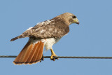 red-tailed hawk 328