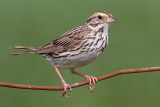 savannah sparrow 39