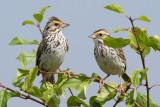 savannah sparrow 40