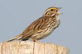 savannah sparrow 42