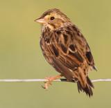 savannah sparrow 44