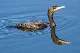 cormorant 110