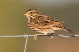 savannah sparrow 46