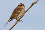 chipping sparrow 20