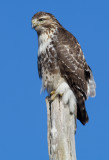 red-tailed hawk 330