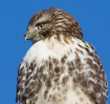 red-tailed hawk 331