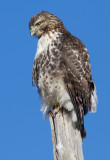 red-tailed hawk 332