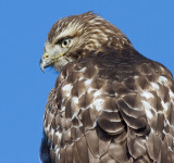 red-tailed hawk 333