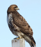 red-tailed hawk 334