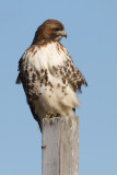 red-tailed hawk 335