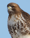 red-tailed hawk 336