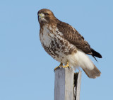 red-tailed hawk 337