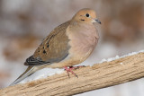 mourning dove 58